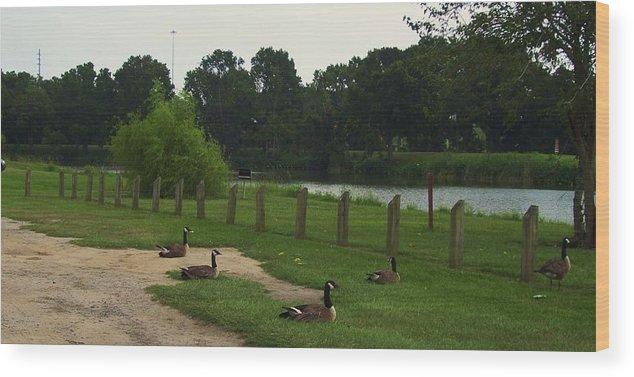 Goose Nesting. Wood Print featuring the photograph Goose by Nereida Slesarchik Cedeno Wilcoxon