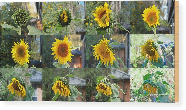 Sunflower Wood Print featuring the photograph Life Of A Sunflower by Vava Fuller-quinn