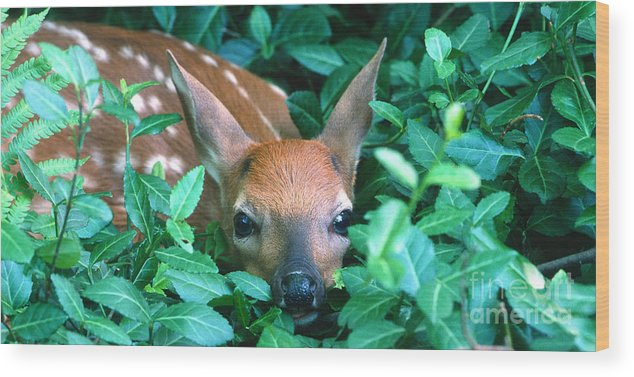 Fawn Wood Print featuring the photograph Playing Peekaboo by Sandra Bronstein