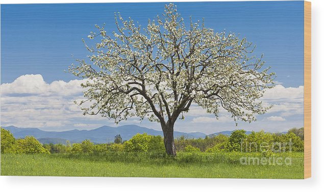 Spring Wood Print featuring the photograph Springtime Apple Tree Panorama by Alan L Graham
