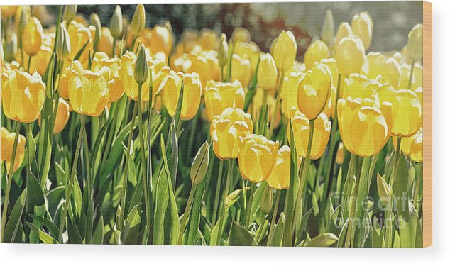 Nature Wood Print featuring the photograph Yellow Tulip Panoramic by Tom Gari Gallery-Three-Photography