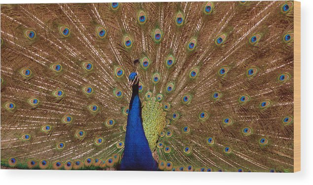 Peakcock Wood Print featuring the photograph Peacock 01 by April Holgate