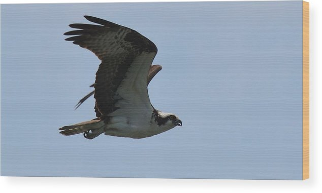 Osprey In Flight Over Lake Norman Wood Print featuring the photograph Fly So High by Tricia Andreassen