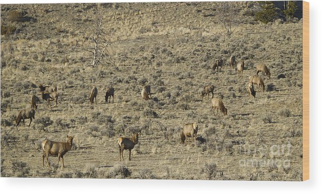 Elk Wood Print featuring the photograph Herd Of Elk  #3218 by J L Woody Wooden
