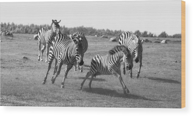Racing Zebras Wood Print featuring the photograph Racing Zebras 1 by Tracy Winter