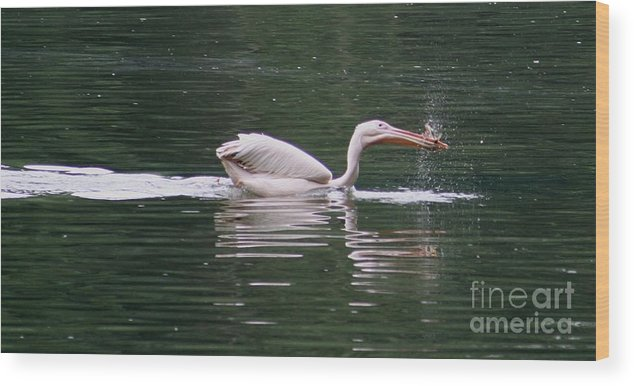 Nature Wood Print featuring the photograph Fishing Pelican by Valia Bradshaw