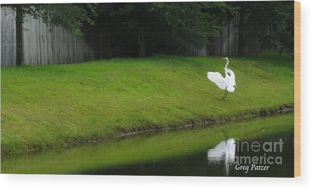 Art For The Wall...patzer Photography Wood Print featuring the photograph Egret Dance by Greg Patzer