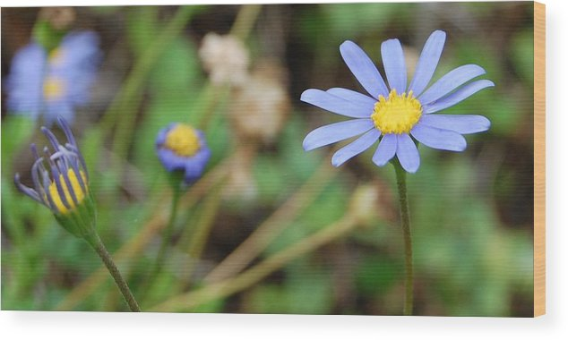 Daisy Wood Print featuring the photograph Little Blue Daisies by Jean Booth