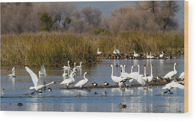 Wildlife Wood Print featuring the photograph Trunda Swans Mixed Ducks by Brian Williamson