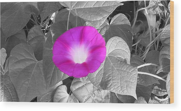 Pink Morning Glory Railroad Vine Plant Vines Wood Print featuring the photograph Glory Pink by Lindsay Clark