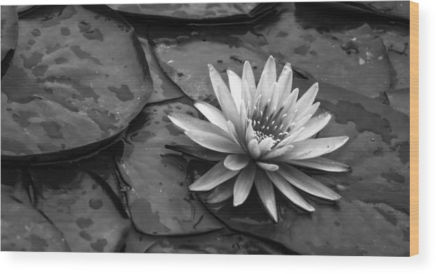 Aquatic Wood Print featuring the photograph Lotus 2 by Brian Stevens