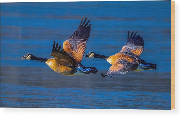 Wood Print featuring the photograph Canada Geese by Brian Stevens