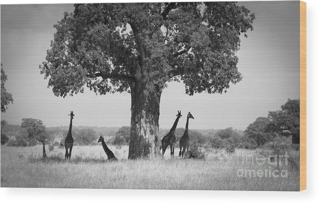 Giraffes Wood Print featuring the photograph Giraffes And Baobab Tree by Chris Scroggins