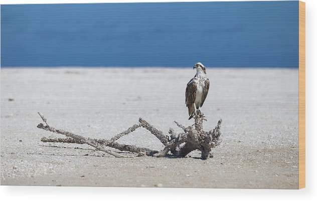 Osprey Wood Print featuring the photograph Majestic Osprey by Sean Allen