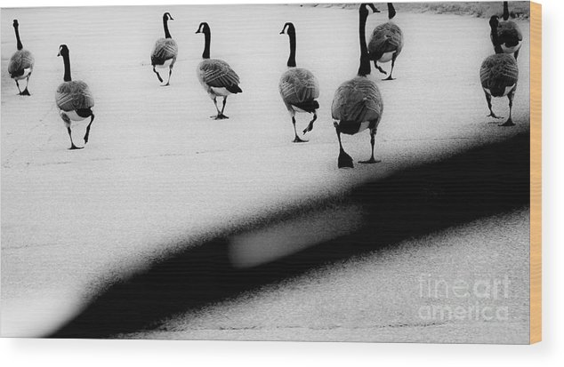 Geese Wood Print featuring the photograph Windshield Wiper by John Thomas Foye