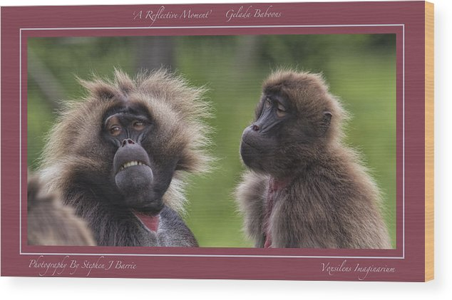 Gelada Baboons Wood Print featuring the photograph A Reflective Moment  Gelada Baboons by Stephen Barrie