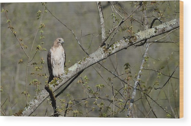 Red-tailed Hawk Wood Print featuring the photograph Alert by Ian Ashbaugh