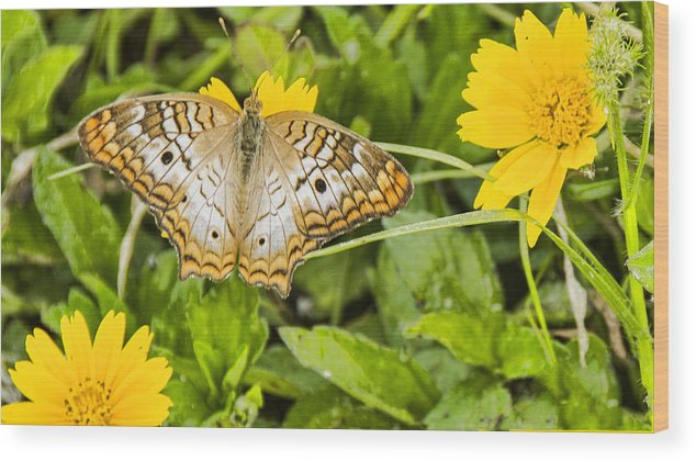 Butterfly Wood Print featuring the photograph Butterfly On Yellow Flower by Don Durfee