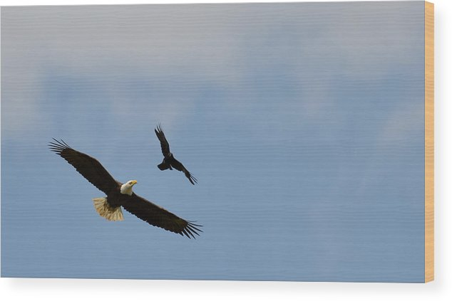 Bald Eagle Wood Print featuring the photograph Dogfight by Ian Ashbaugh