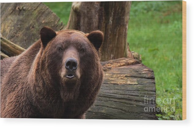 Bear Wood Print featuring the photograph Max The Brown Bear by Mickey At Rawshutterbug