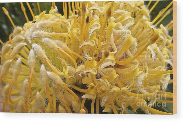Maui Wood Print featuring the photograph Wild Hairs Pua'ala Protea by Cheryl Cutler