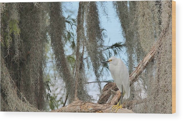 Water Bird Wood Print featuring the photograph Snowy Egret by Paul Golder