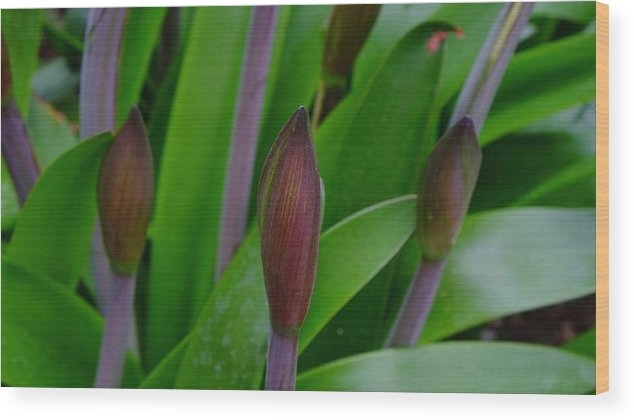 Plant Wood Print featuring the photograph Spring Buds Amaryllis by August Timmermans