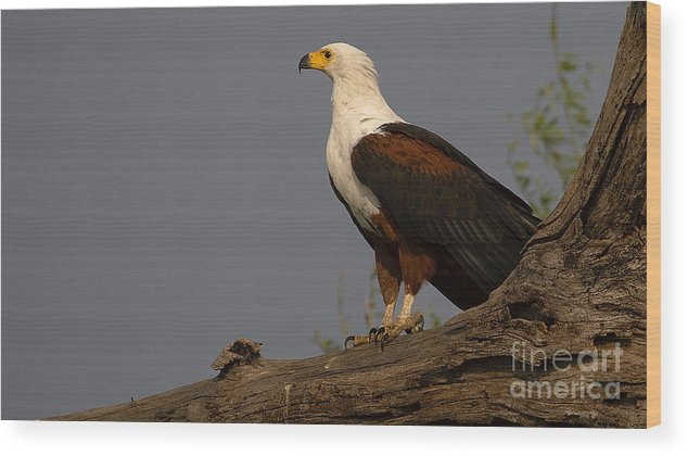 African Fish Eagle Wood Print featuring the photograph African Fish Eagle by Mareko Marciniak