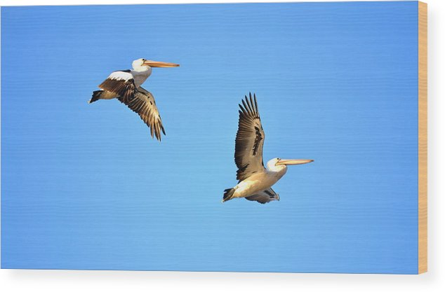 Pelicans Wood Print featuring the photograph P Blues by Naturae Sua