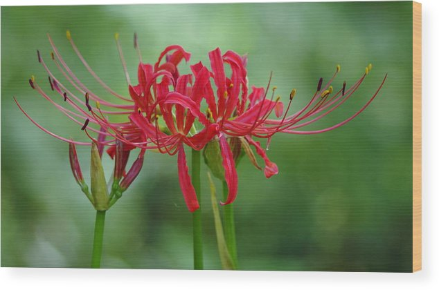 Red Wood Print featuring the photograph Spider Lily by Aaron Rushin