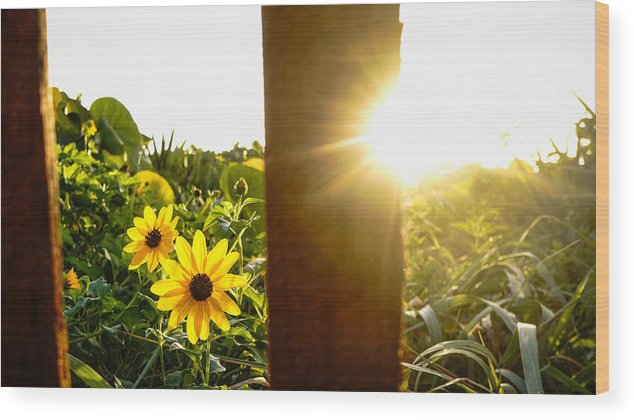 Florida Wood Print featuring the photograph Daisies Dune Fence Sunrise Delray Beach Florida by Lawrence S Richardson Jr