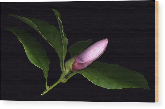 Scanography Wood Print featuring the photograph Emerging Magnolia by Deborah J Humphries