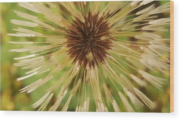 Dandlion Wood Print featuring the photograph Extreme Dandelion by Rusty Gentry
