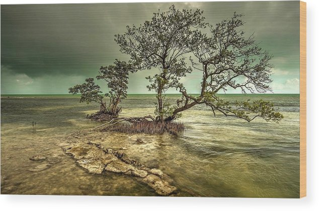 This Is A Mangrove Tree Growing From The Shallow Coastline Of Geiger Key In The Lower Florida Keys Wood Print featuring the photograph Geiger Key Shoreline by Mark Reinnoldt