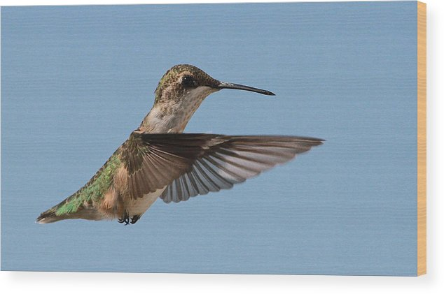 Bird Wood Print featuring the photograph Hummingbird by Donna Quante