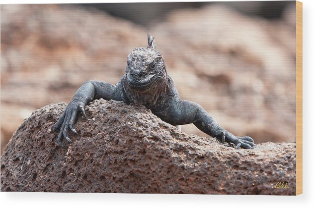 Iguana Wood Print featuring the photograph Marine Iguana by Robert Selin