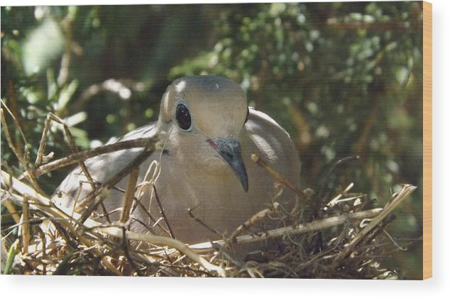 Birds Wood Print featuring the photograph Morning Dove On Her Nest by Dennis Pintoski