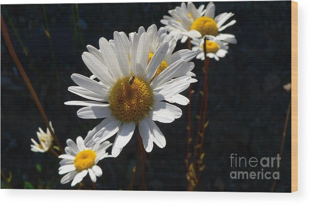 Flowers Wood Print featuring the photograph Mountain Daisy by Larry Keahey