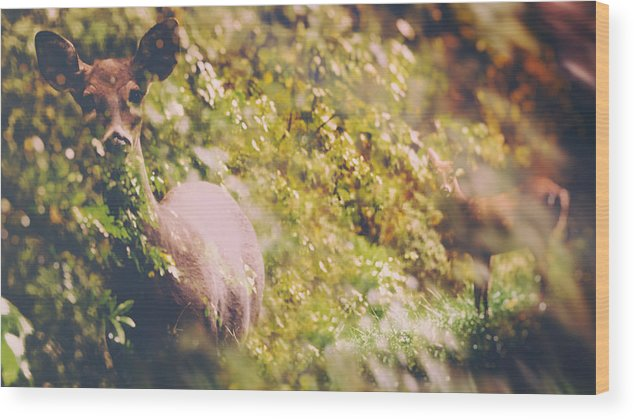 Odocoileus Virginianus Wood Print featuring the photograph The Curious Doe by SharaLee Art