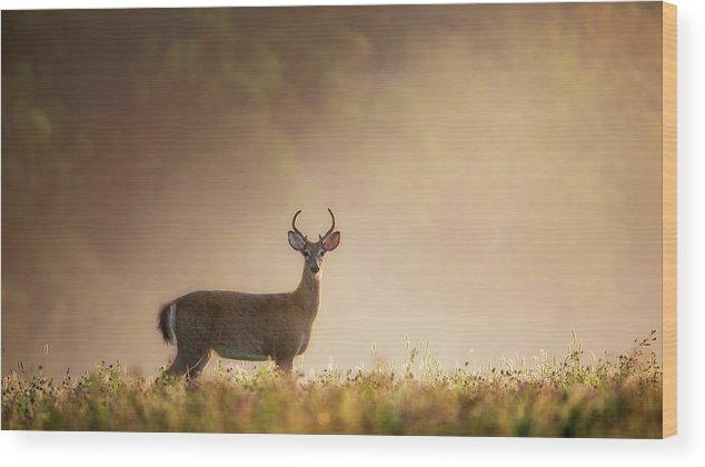 Buck Wood Print featuring the photograph Young Buck by Bill Wakeley