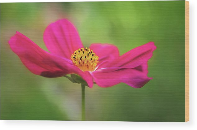 Flower Wood Print featuring the photograph Cosmo by S A Littau
