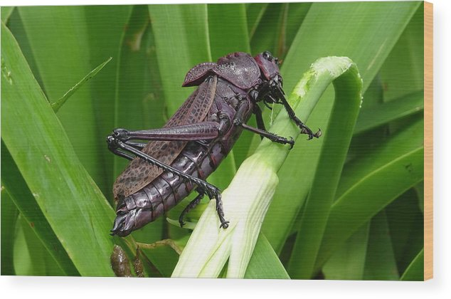 Wood Print featuring the photograph Grasshopper by Stanley Vreedeveld