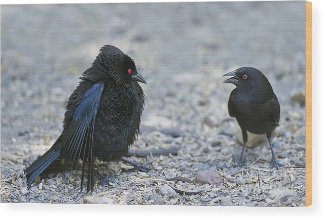 Bronzed Cowbird Wood Print featuring the photograph Bronzed Cowbird Display by Anthony Mercieca