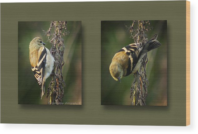 American Goldfinch Wood Print featuring the photograph Goldfinch Collage by Dianna Wilson