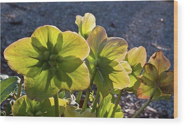 Heleborus Wood Print featuring the photograph Helleborus Backlight Blossoms 2 by Douglas Barnett