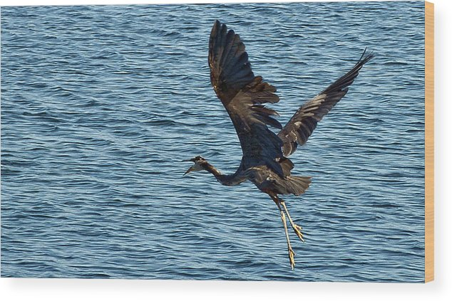 Heron Wood Print featuring the photograph Heron In Flight by Ron Roberts