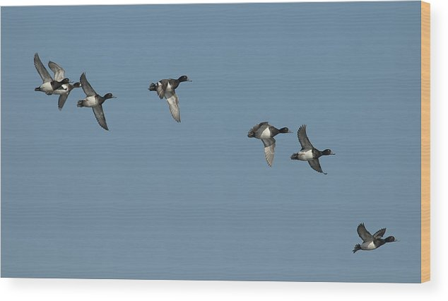 Greater Scaup Wood Print featuring the photograph High Flying Scaup by Ward McGinnis