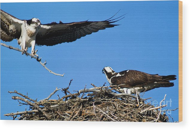 Osprey Wood Print featuring the photograph Banff - Osprey 1 by Terry Elniski