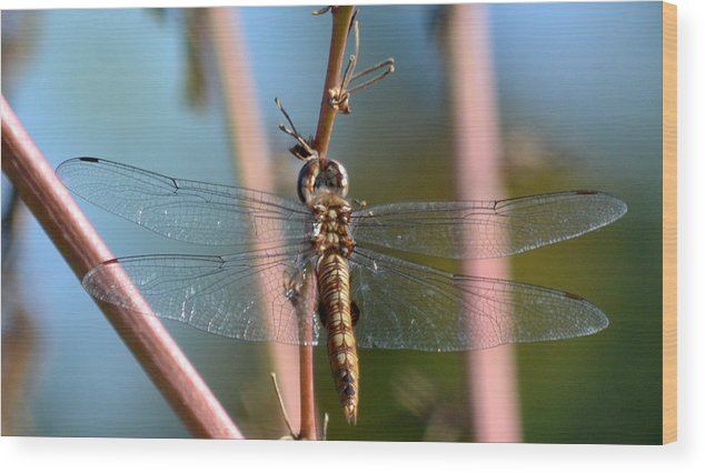 Dragonfly Wood Print featuring the photograph Clarity by Fraida Gutovich
