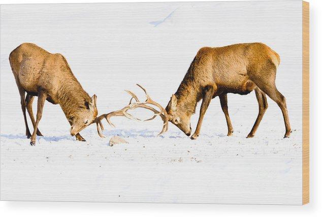 Wapiti Wood Print featuring the photograph Horns A Plenty by Cheryl Baxter